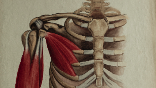Illustration of a partial rib cage and arm bones.